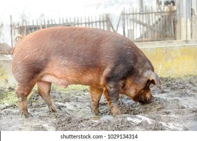 Wild Pig Names