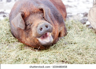 Big producer of red wild boar. Meat breed of pigs Duroc. Pigs grazing outdoors in a dirty farm field. Name in Latin: Sus scrofa domesticus. Red Hogging pigs. Red boar. Concept growing organic food.