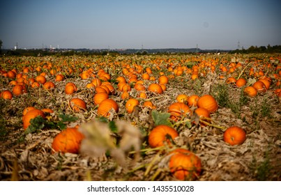 Big pumpkin field with many fruits