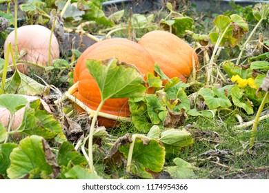 big pumpkin in a garden