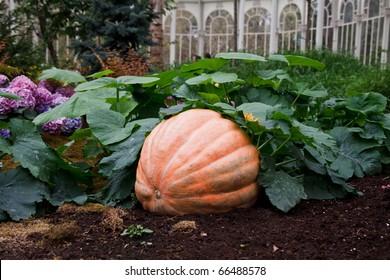 Big pumpkin growing on a pumpkin patch