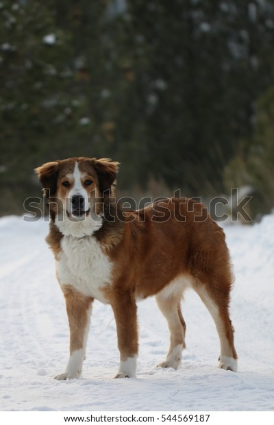 Big Pup Winter Bernese Mountain Dog Stock Image Download Now