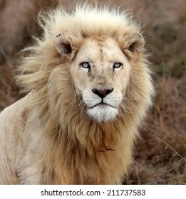 A big pure white male lion in this photo taken on safari in Africa.