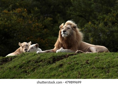 A big pure white male lion and two females in this photo taken on safari in South Africa.