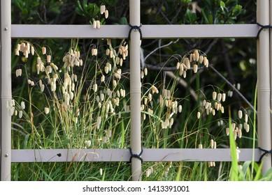 Big quaking grass (Briza maxima)