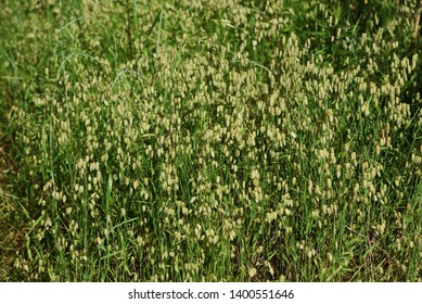 Big quaking grass is clustered in the vacant land.