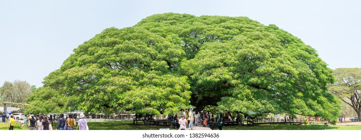 The Big Rain tree, 100 years old. (amanea saman (Jacq.) Merr.) People come to travel under the big trees. Tourist attractions in Kanchanaburi, Thailand. 6 April 2019