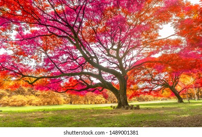 The big Rain trees plant with colorful leaves, pink orange and yellow leaf in autumn season under sunshine morning, on green grass lawn in a park