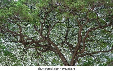 Big raintree at Kanchanaburi, Thailand.