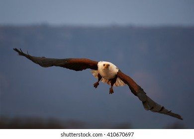 A big raptor, African fish eagle, Haliaeetus vocifer flying directly at camera with outstretched wings in evening light against blurred mountains in background. KwaZulu Natal, South Africa.