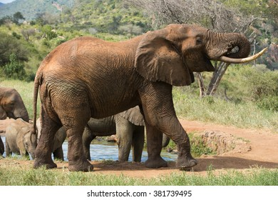 Big red african elephant