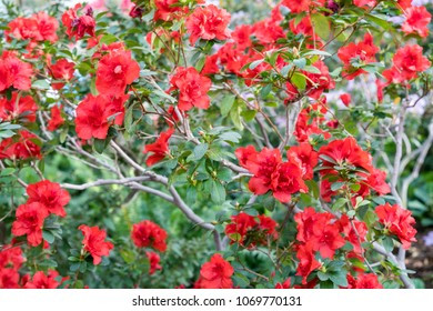 azalea big and beautiful singles Learn which azalea and rhododendron varieties are the best ones for your garden beautiful blooms, many are the blooms on the amelia rose azalea are so big and.