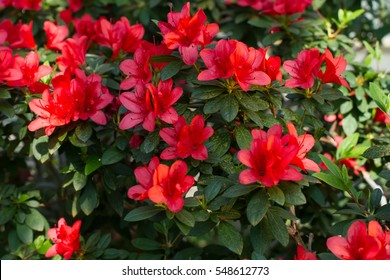Big red azalea bush in the garden. Season of flowering azaleas.