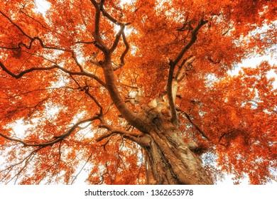 Big red bold Book tree crown