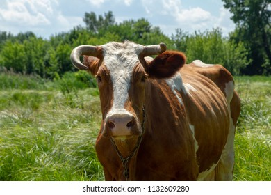 A big red cow with different horns on a meadow. Heifer on the meadow. Private cattle breeding in Ukraine. Household subsidiary farming. A cow is grazing in a clearing.