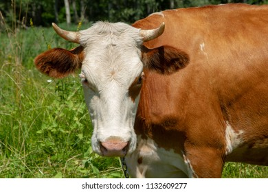 The big red cow is not very friendly. Heifer on the meadow. Private cattle breeding in Ukraine. Household subsidiary farming. A cow is grazing in a clearing.