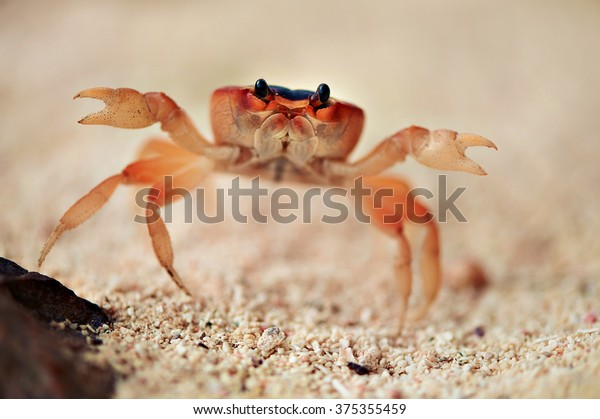 Big red crab on the sand. Caribbean crab. Macro.