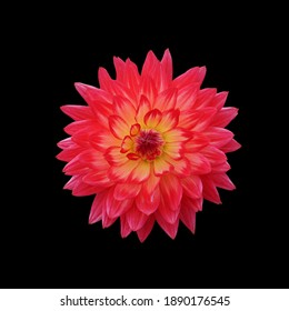 Big red dragon petal flower of Tropical Dahlia plant - Isolated Black Backgroubd
