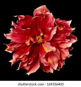 Big red flower dahlia