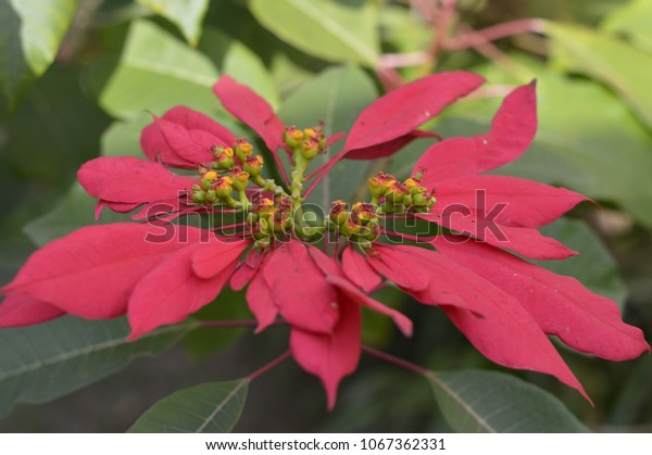 big red flower poinsettia