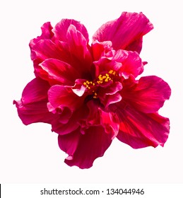 A big red hibiscus flower isolated on white background