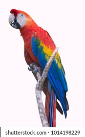 Big red macaw parrot sits on a branch isolated. Ara macao.