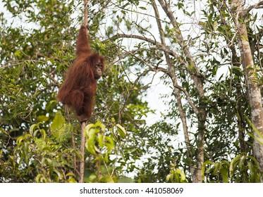 Big red male orangutan eating bannana in Tanjung Puting national park