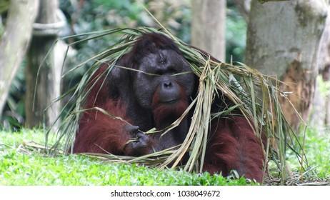 Big red male orangutan sits under a bunch of grass