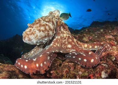 Big Red Octopus hunts on underwater coral reef