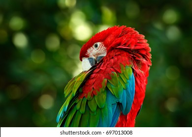 Big red parrot Red-and-green Macaw, Ara chloroptera, sitting on the branch with head down, Brazil. Wildlife scene in nature. Birdwatching in America.