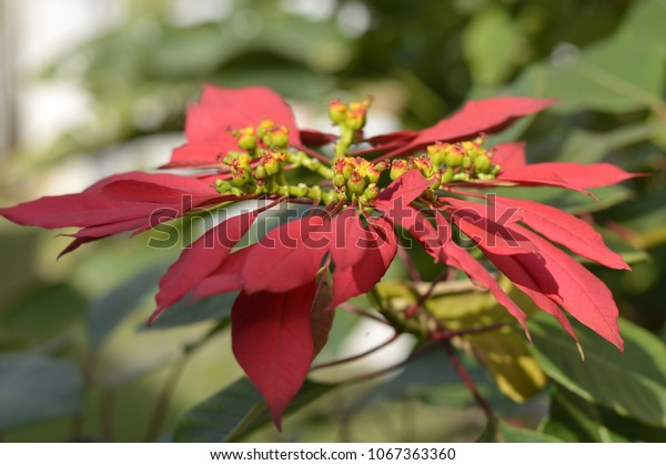 Big Red Poinsettia Flower