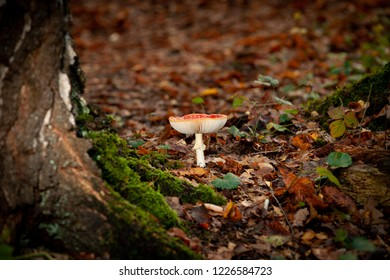 Big red shining fly agaric, amanita muscaria. A toxic mushroom, in its natural environment. with water in the cap