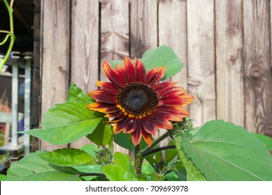 Big red sunflower growing up and blooming face to the sun in the morning with water droplet on petals and pollen with green yellow light leave with background brown wood, nature garden in europe.