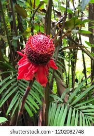 Big red torch ginger flower