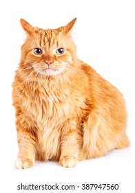 big red-haired  cat isolated a white background