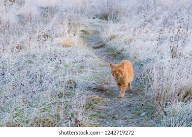 Big red-haired cat posing on the frozen grass