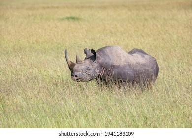 Big rhino in the wild savanna