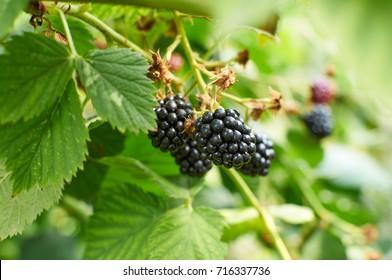 Big ripe Blackberries on the bush growing