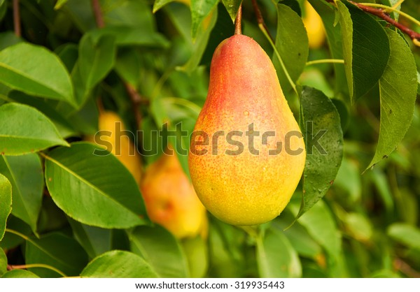 Big ripe red yellow pear fruit on the tree
