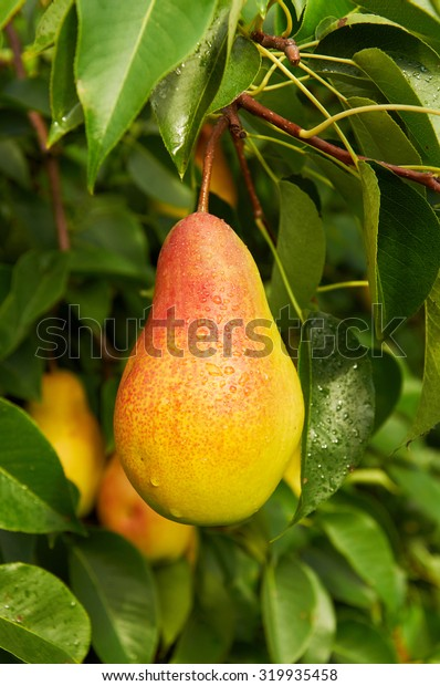 Big ripe red yellow pear fruit on the tree after the rain