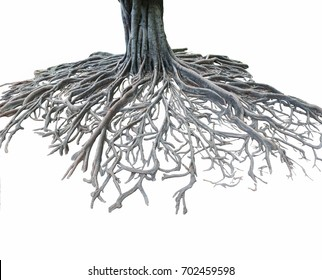 Big root tree isolated.