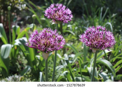 "Big and round purple flowers ""Early emperor"" ornamental onion flowers allium jesdianum. Big violet bulbs. Allium are bulbous herbaceous perennials with a strong onion or garlic scent."