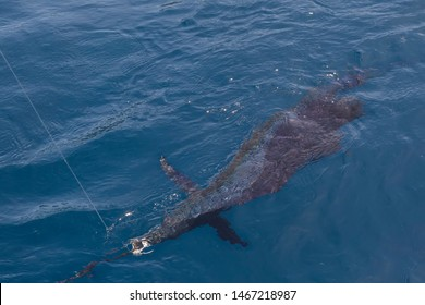 Big sailfish caught fishing by trolling in Thailand between Phuket and Similan Islands. Sailfish fish lies on the deck of a fishing boat. One of the most beautiful and fastest fish in the world