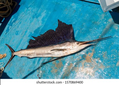 Big sailfish on the deck of professional fishing boat in Andaman Sea of Indian Ocean. Trophy fishing trolling catch between Phuket and Racha islands, Thailand. Blue sea and deck of yacht, huge fish