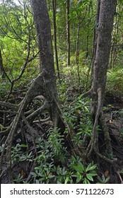 A big saiz of mangrove tree suitable for carcoal factory