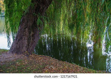Big sallow tree growing on river bank. Willow tree trunk and green branches reflection in pond water. Landscape of Sofiyivka national park in Uman Ukraine. Tranquil autumn scene in Sofievka Uman park.