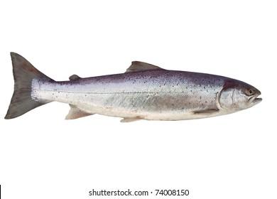 big salmon on white background