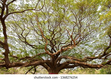 Big Samanea saman tree with branch