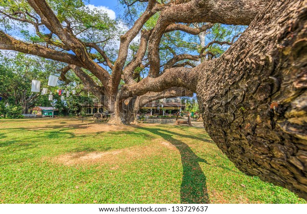 big samara saman (Rain tree, East indian walnut) tree
