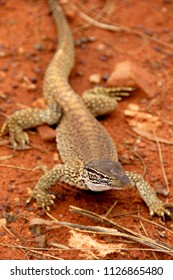 A big sand goanna (Varanus gouldii, Gouldswaran)  with a black splitted tongue walking and moving in the Australian wilderness of the red desert, taking a sunbath or looking for food. Selective focus